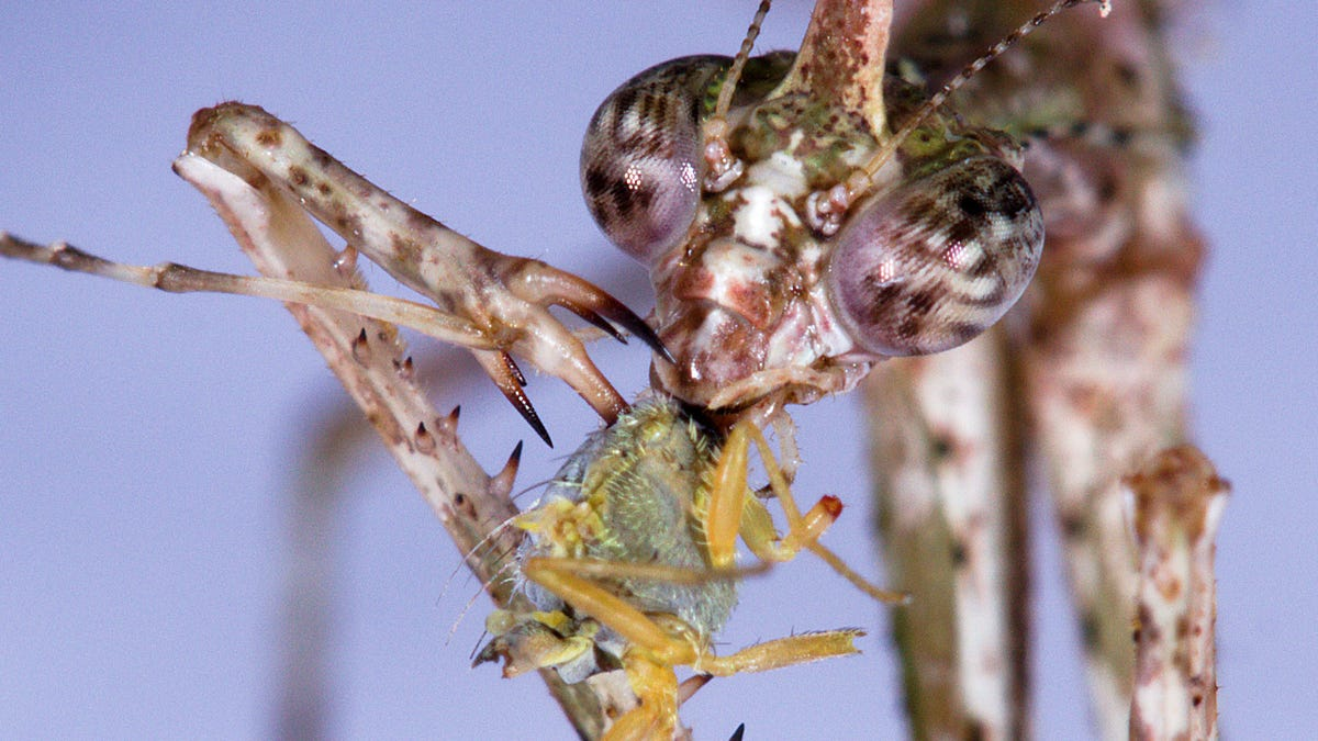 New Species of Praying Mantis Impales Its Prey on Barbed Spikes