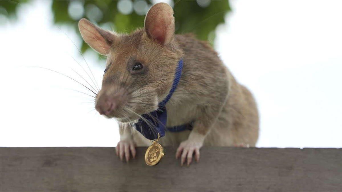 Condecoran con una medalla de oro a una rata que detectó 67 explosivos