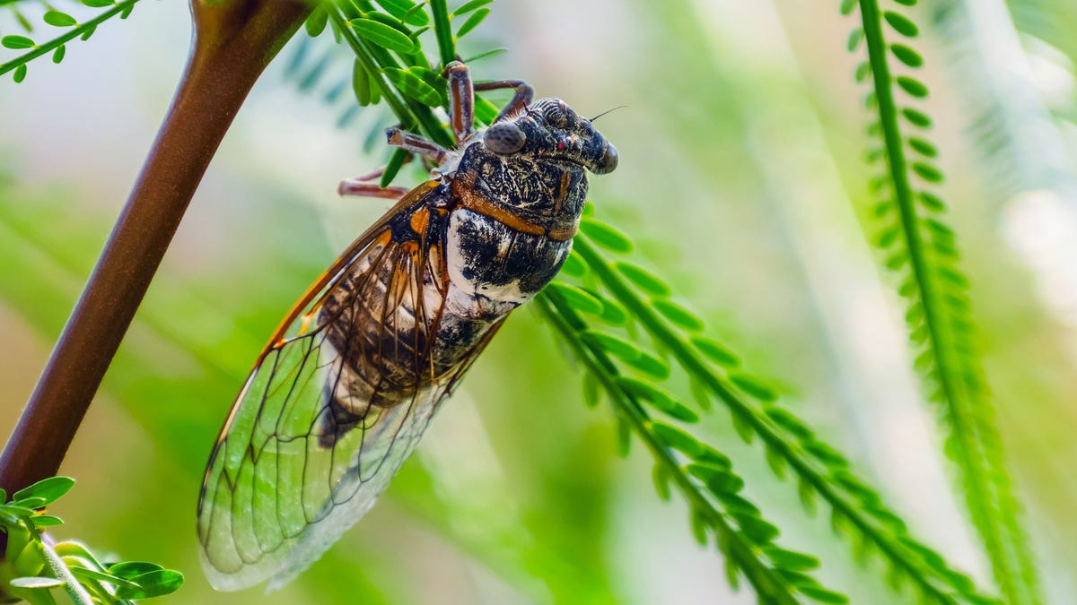 The way to Get Rid of Cicadas When the Brood Arrives thumbnail