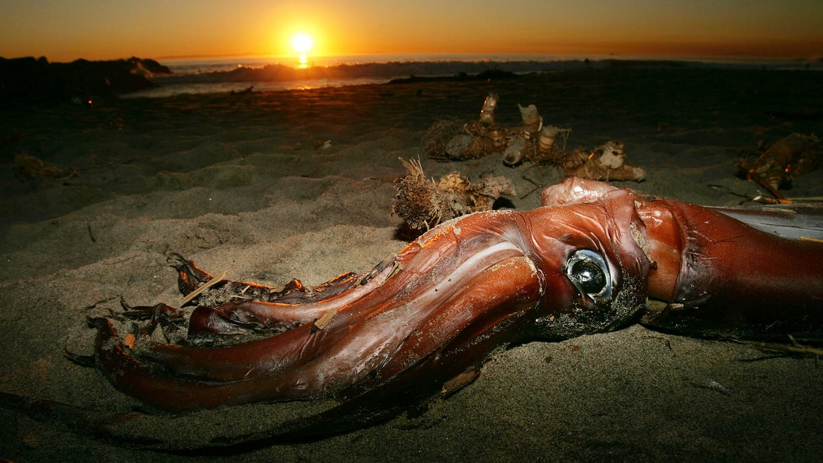 Newly Sequenced Giant Squid Genome Raises as Many Questions as It Answers