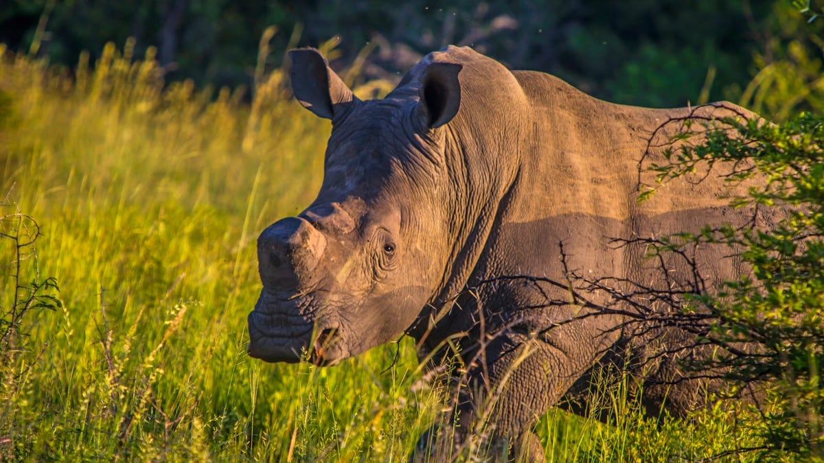Why Coronavirus Could Lead to More Rhino Poaching - Gizmodo