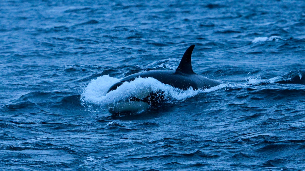 Orcas Are Targeting Boats in Northern Spain. No One Knows Why.