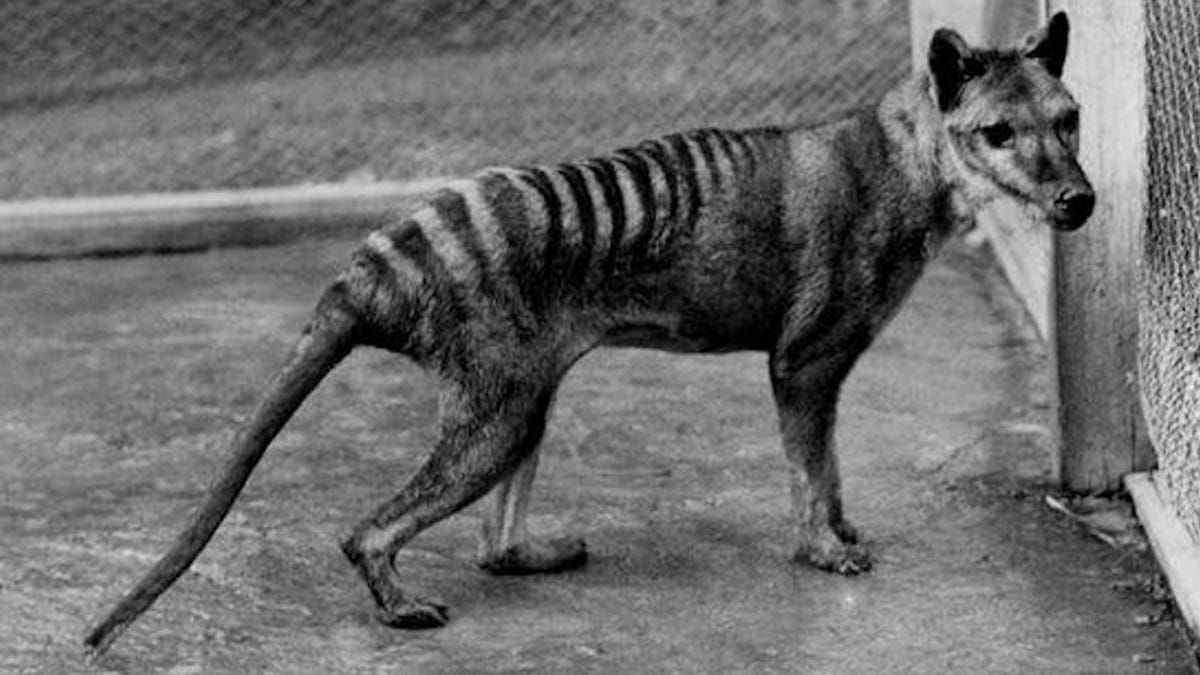 Extinct Tasmanian Tigers Were Way Tinier and Wimpier Than We Thought