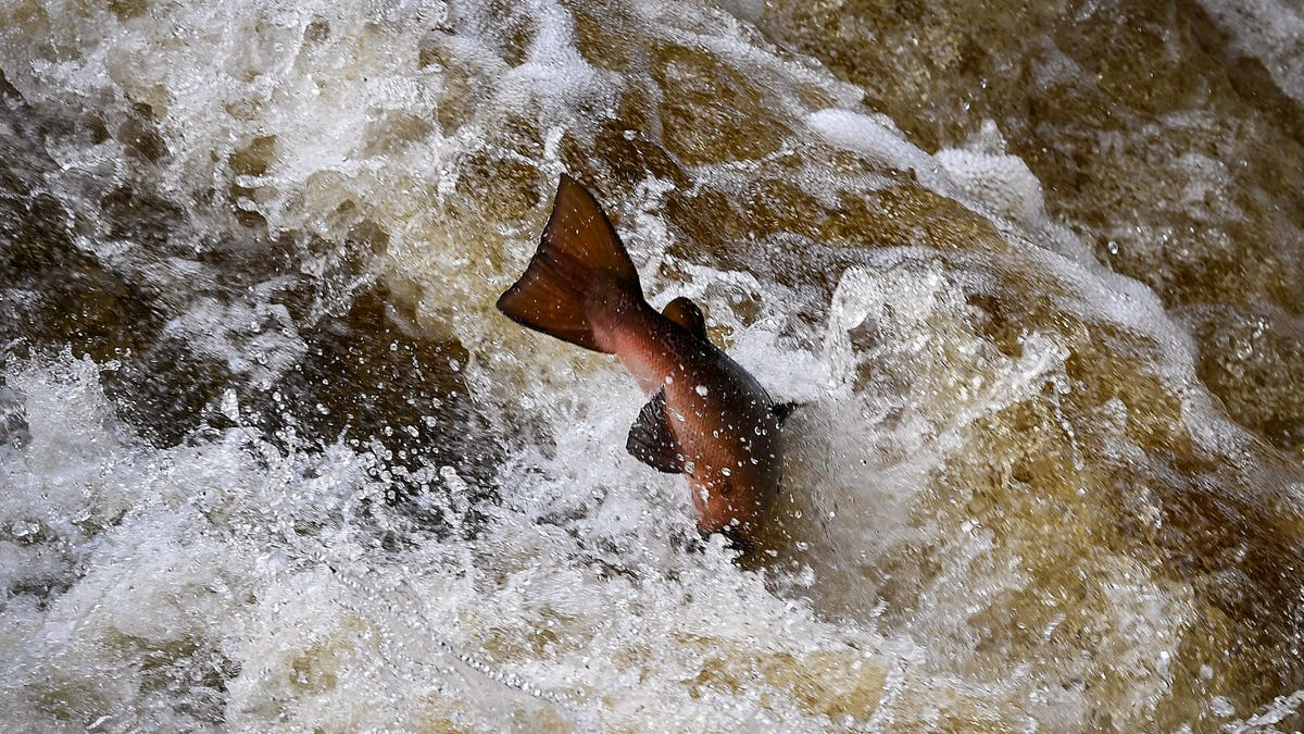 50,000 Salmon Escaped From a Tasmanian Fish Farm