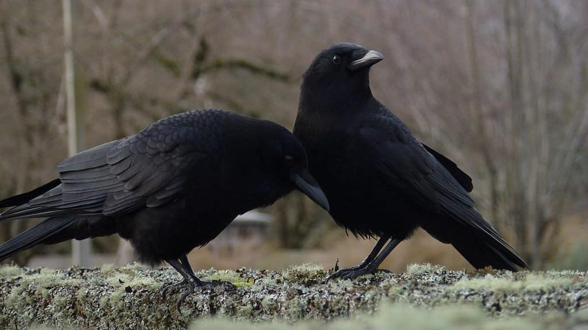 These Crows Evolved Into a New Species, Boned the Old Species Too Much, Now Back Where They Started