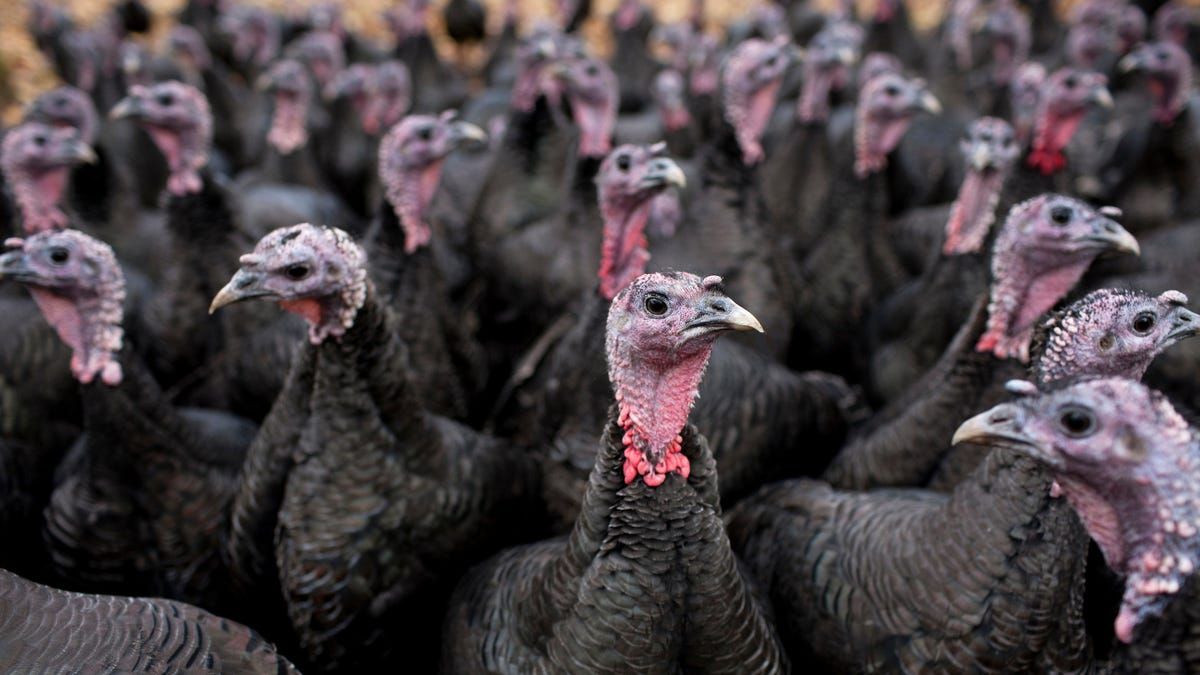 2020 is the year of the wee turkey [Updated]