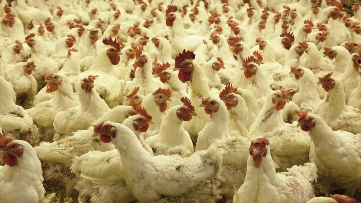 Un hombre busca desesperadamente un hogar para las 1.000 gallinas que compró por error en Internet