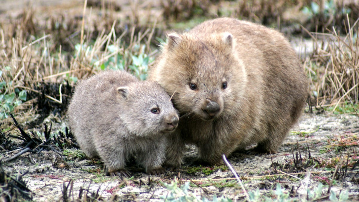 Scientists Learn Even More About Wombats and Their Beautiful Cubed Poop