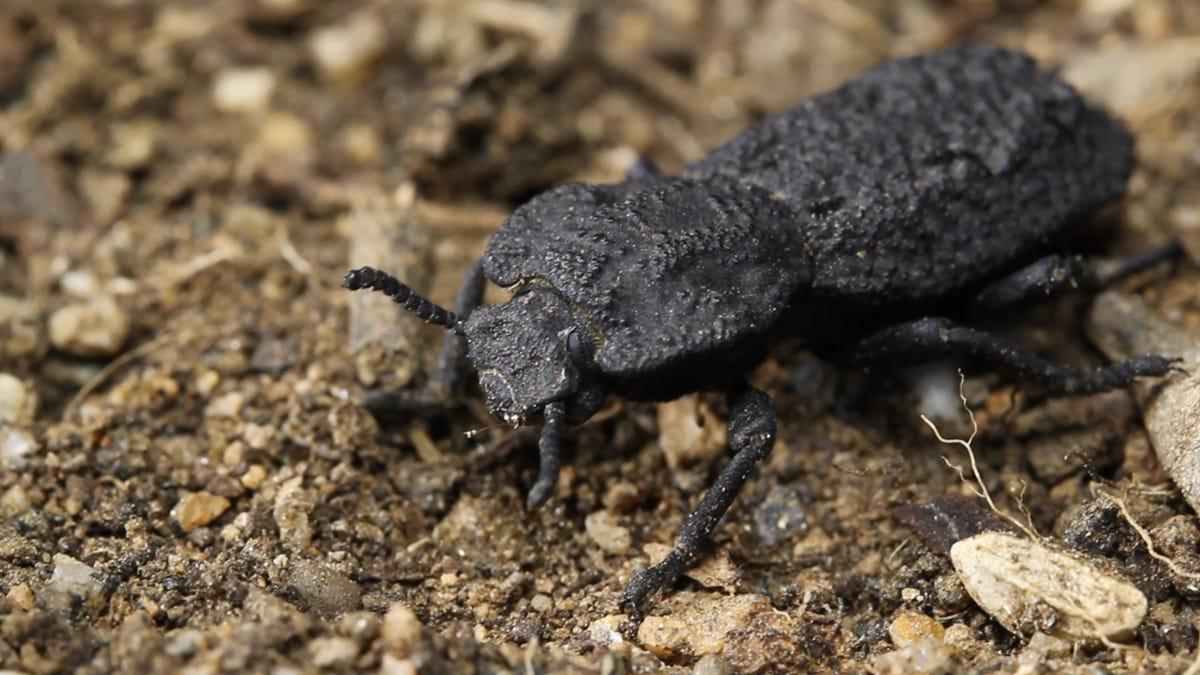 diabolical ironclad beetles - photo #26