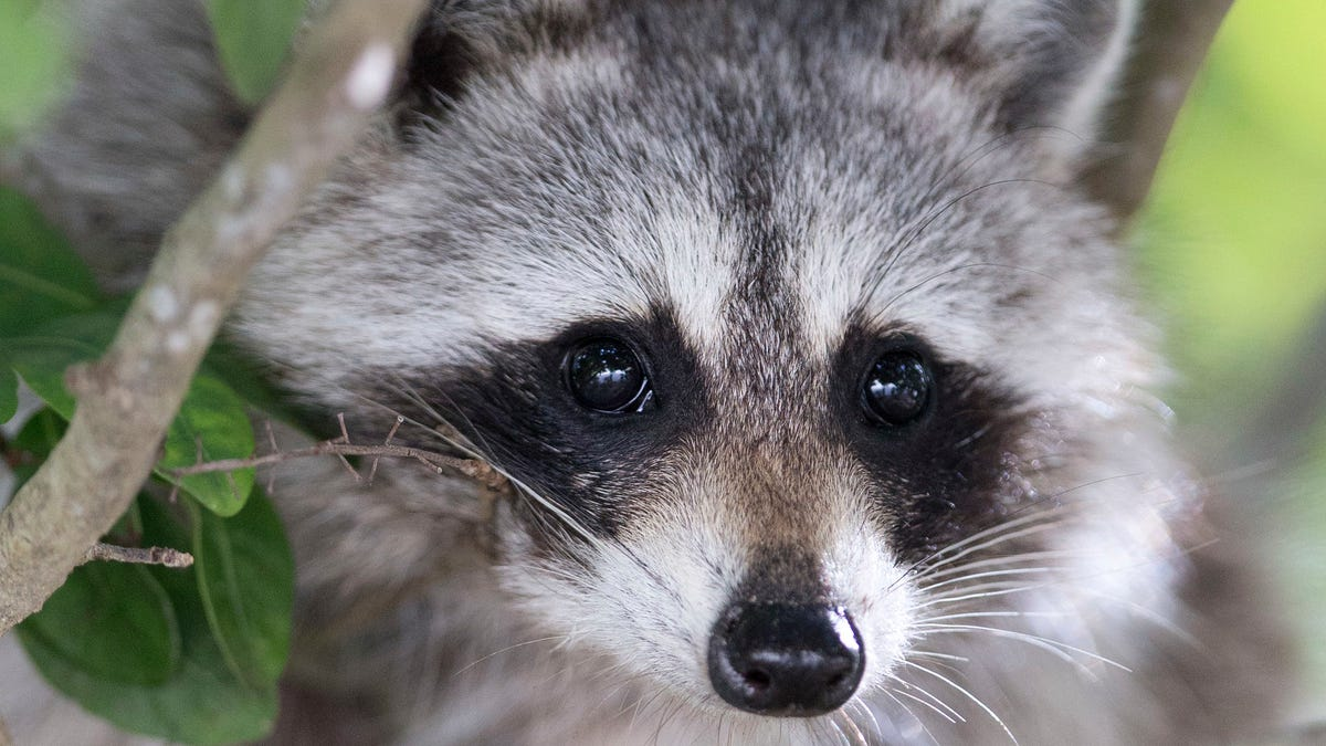 Someone Please Save the Raccoon [Update: It's Climbing Down]