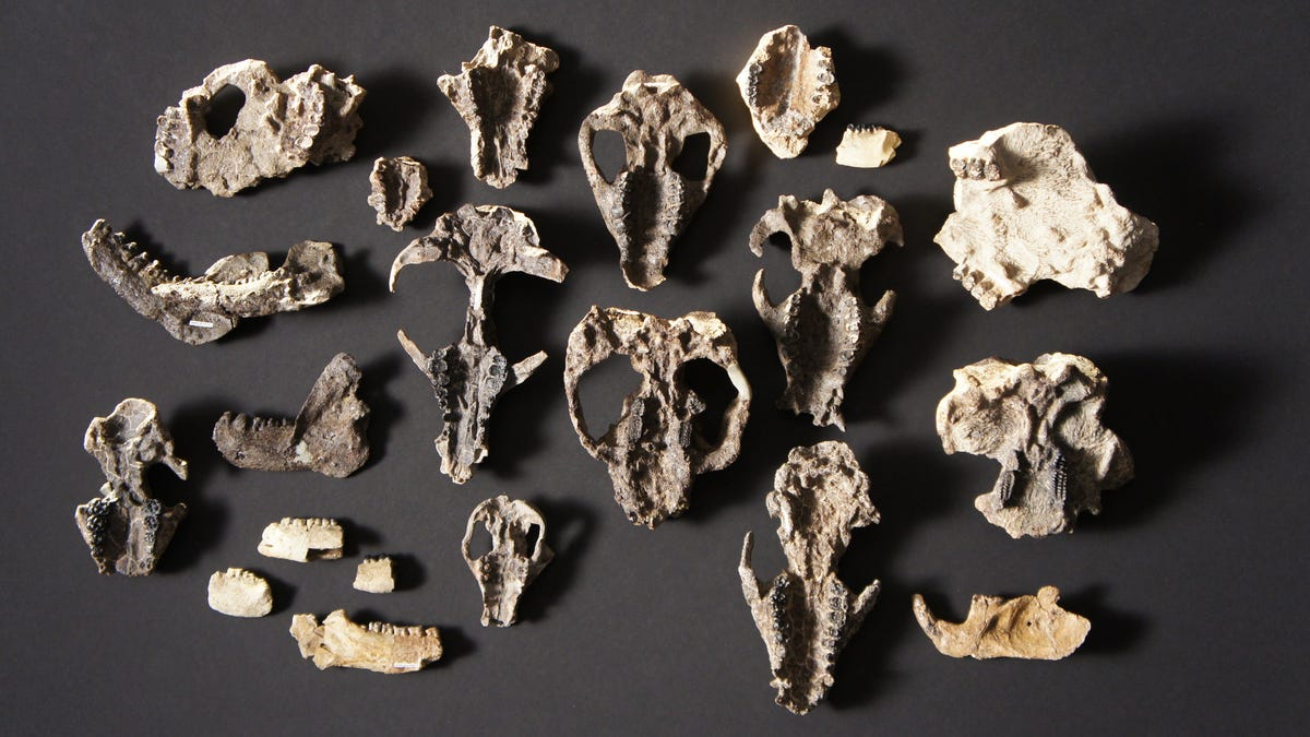 Incredible New Fossils Show How Quickly Mammals Took Over After Dinosaur Extinction
