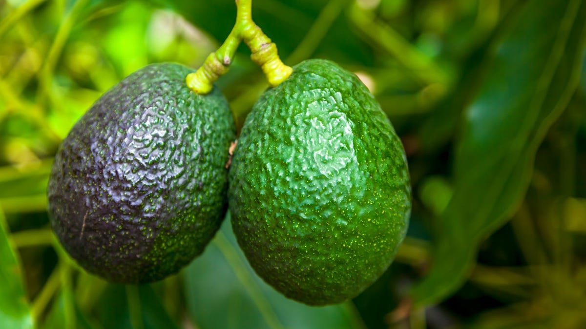 Last Call: An assemblage of avocado fun facts