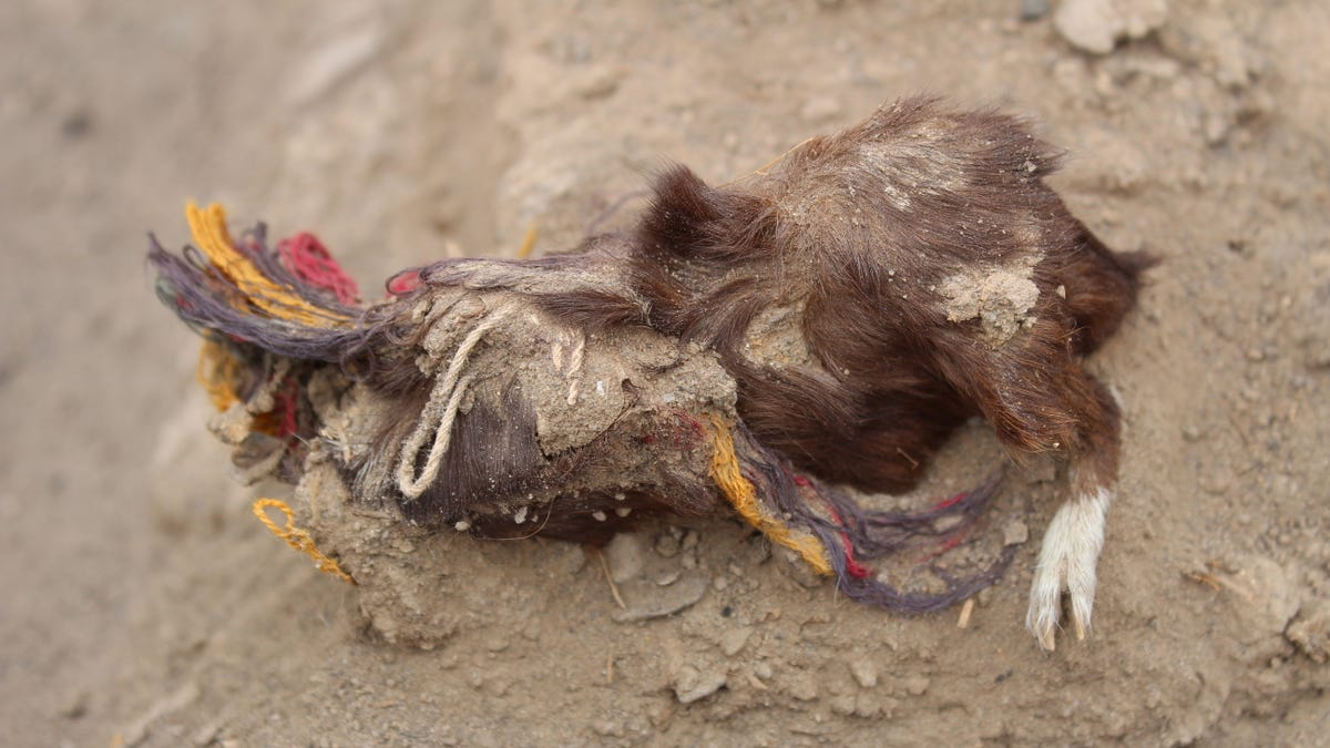 400-Year-Old Sacrificed Guinea Pigs Wearing Colorful Earrings and Necklaces Discovered in Peru