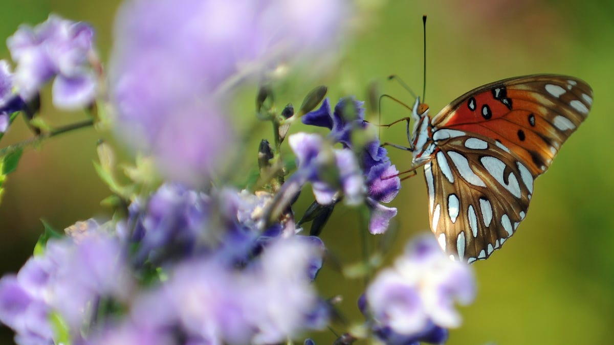 Climate Change Is Killing Butterflies in the American West