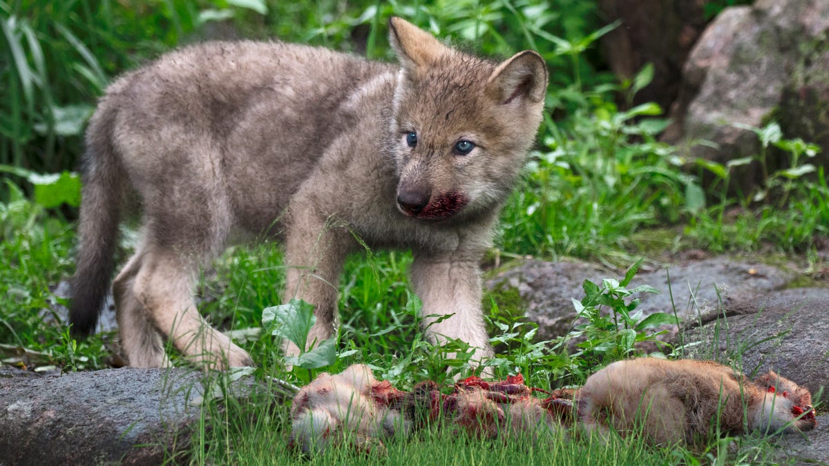 Pack Members Worried Young Wolf May Be Sociopath After He Mauls Rabbit