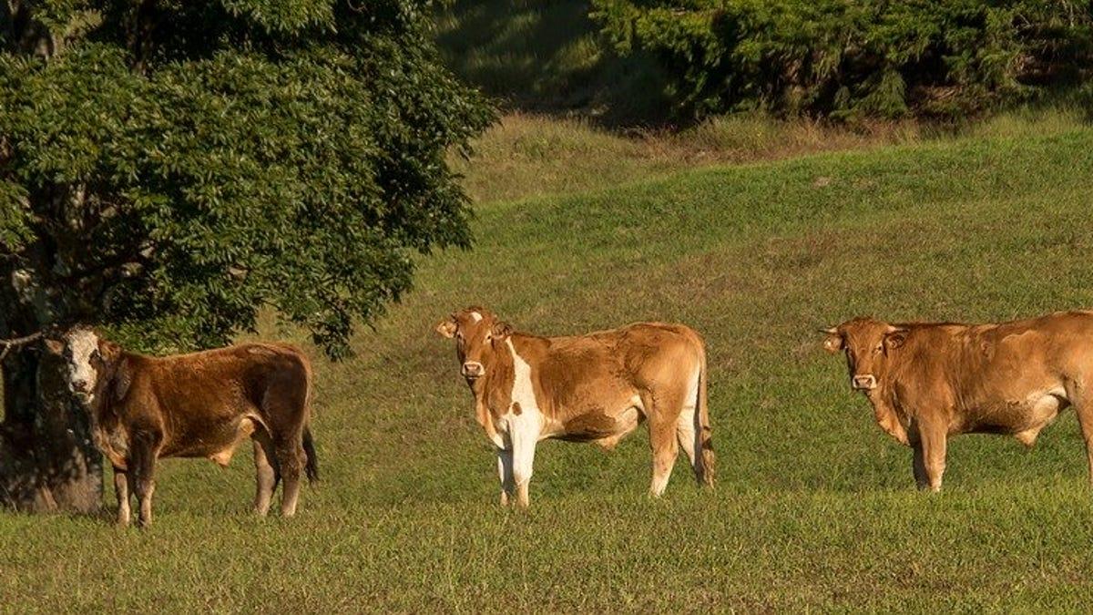 Tres vacas desaparecieron con el huracán Dorian. Ahora las han encontrado vivas en una isla a kilómetros de di