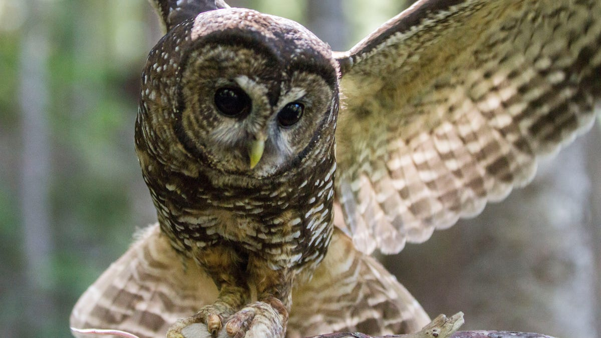 California Is on the Brink of an Owl War