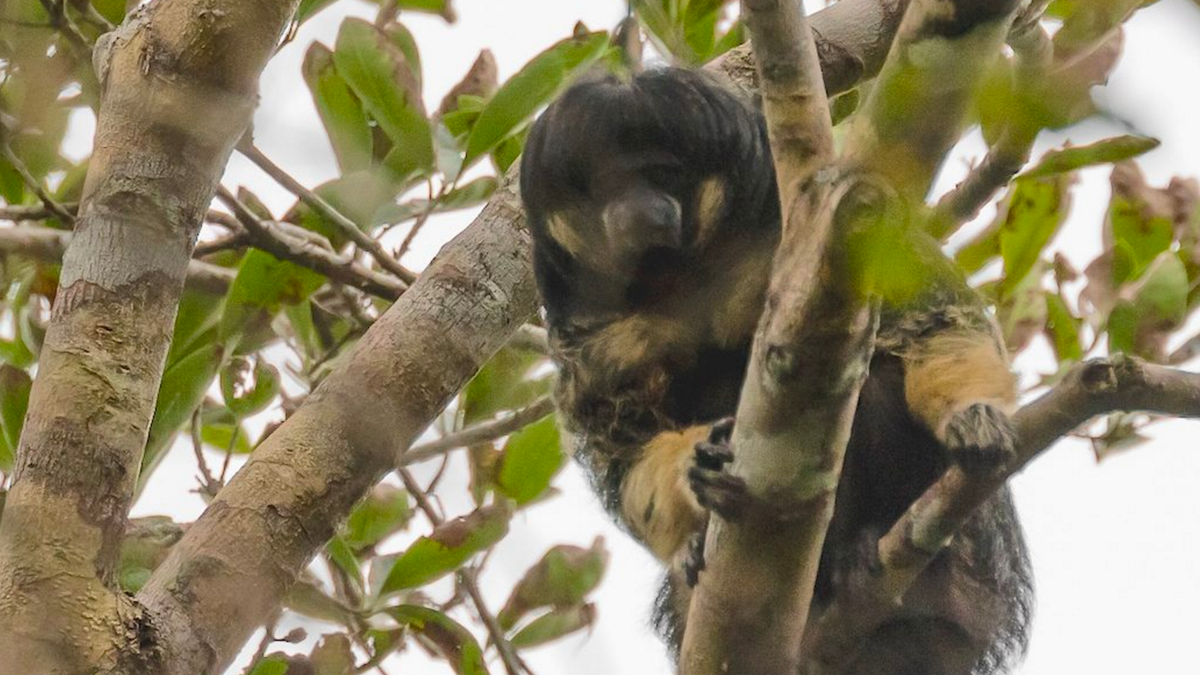 Rare Mop-Topped Monkey Spotted in Brazil for First Time in Over 80 Years