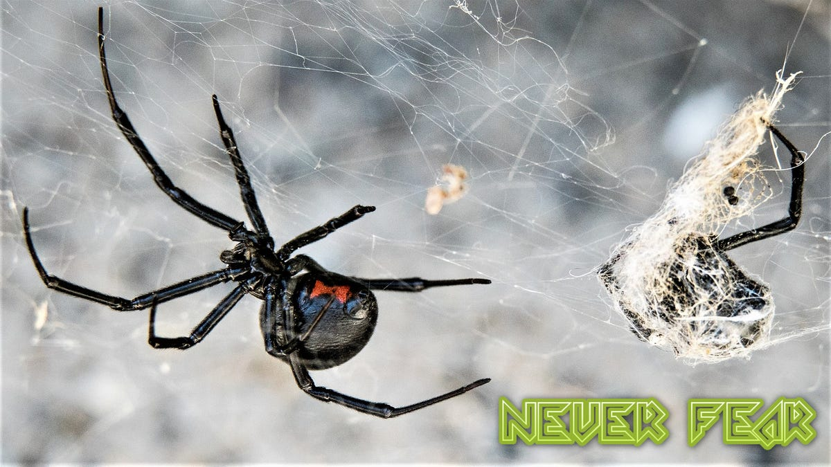 Why You Shouldn T Fear The Black Widow Spider