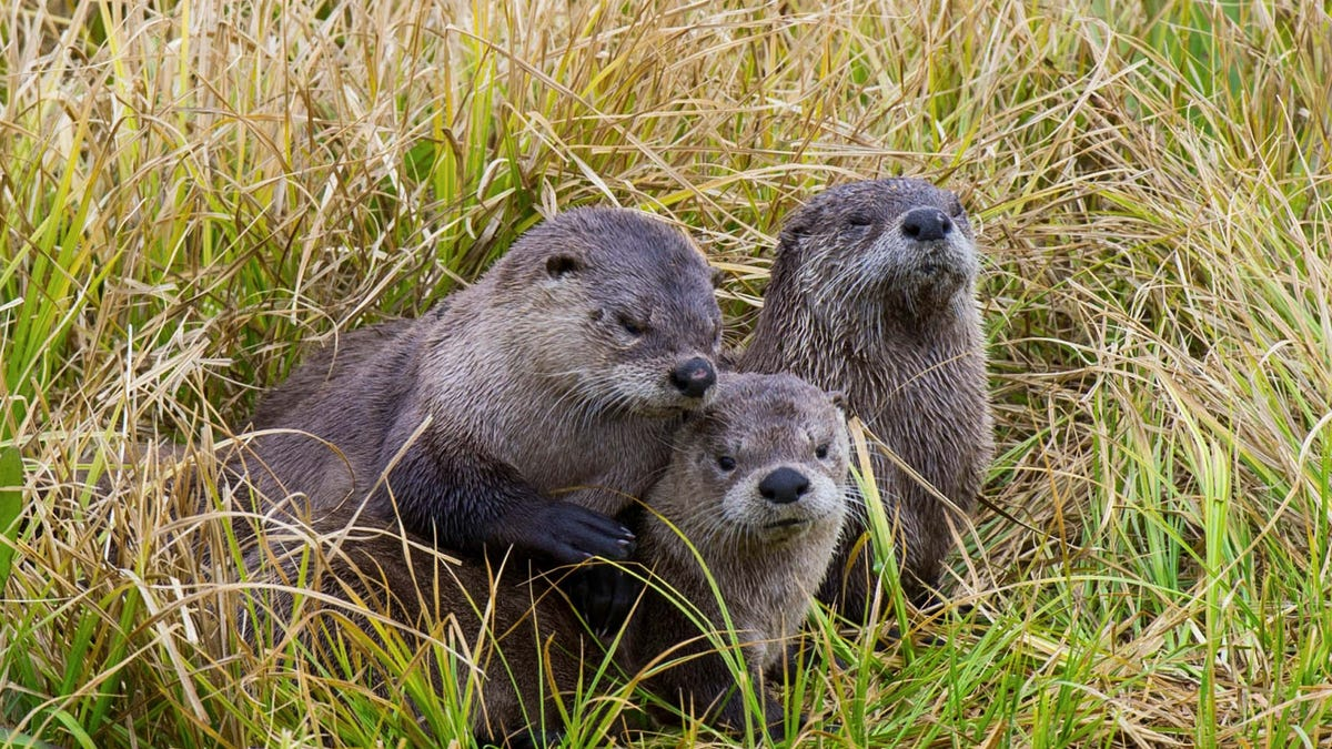 Tar Sands Pollution Is Giving Otters Limp Dick