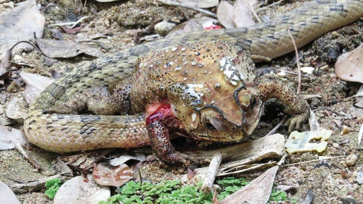 Horrified Scientists Watch Snakes Feasting on the Organs of Living Toads - Gizmodo