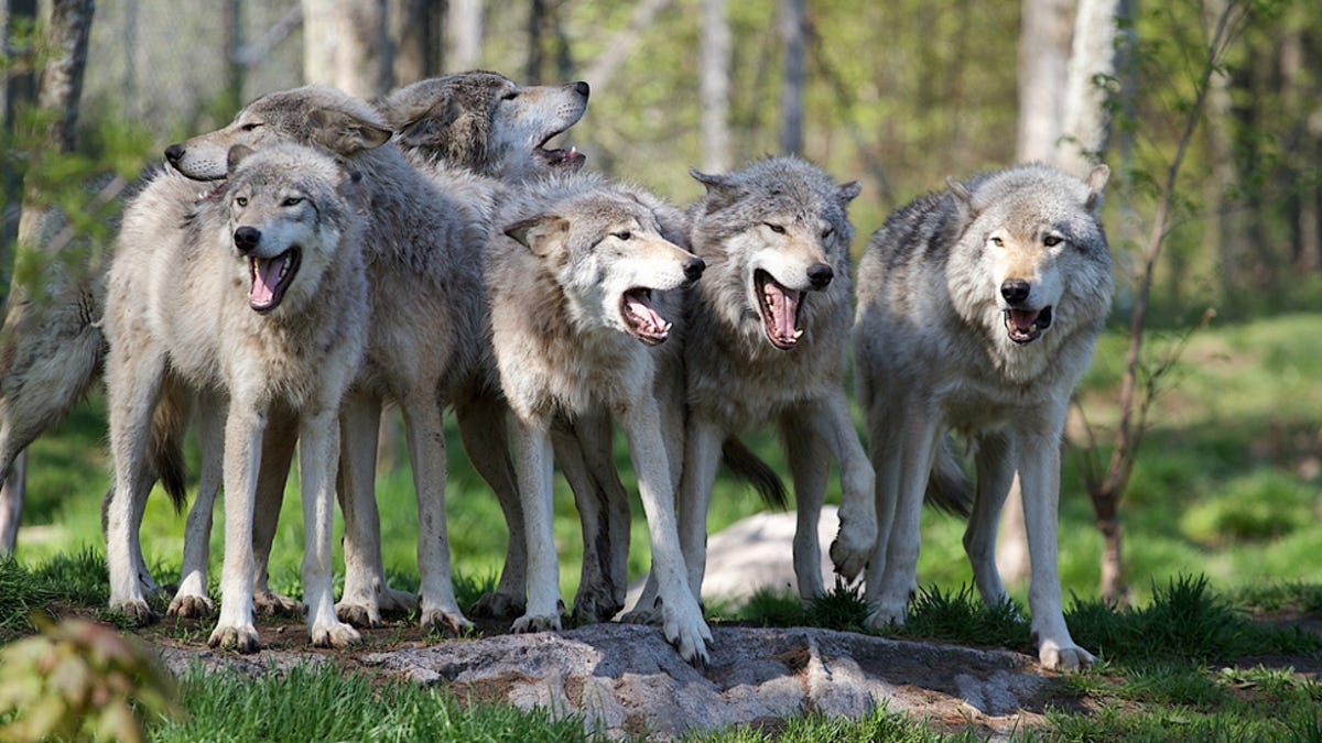 What Happens To Wolves When They Re Raised Like Dogs
