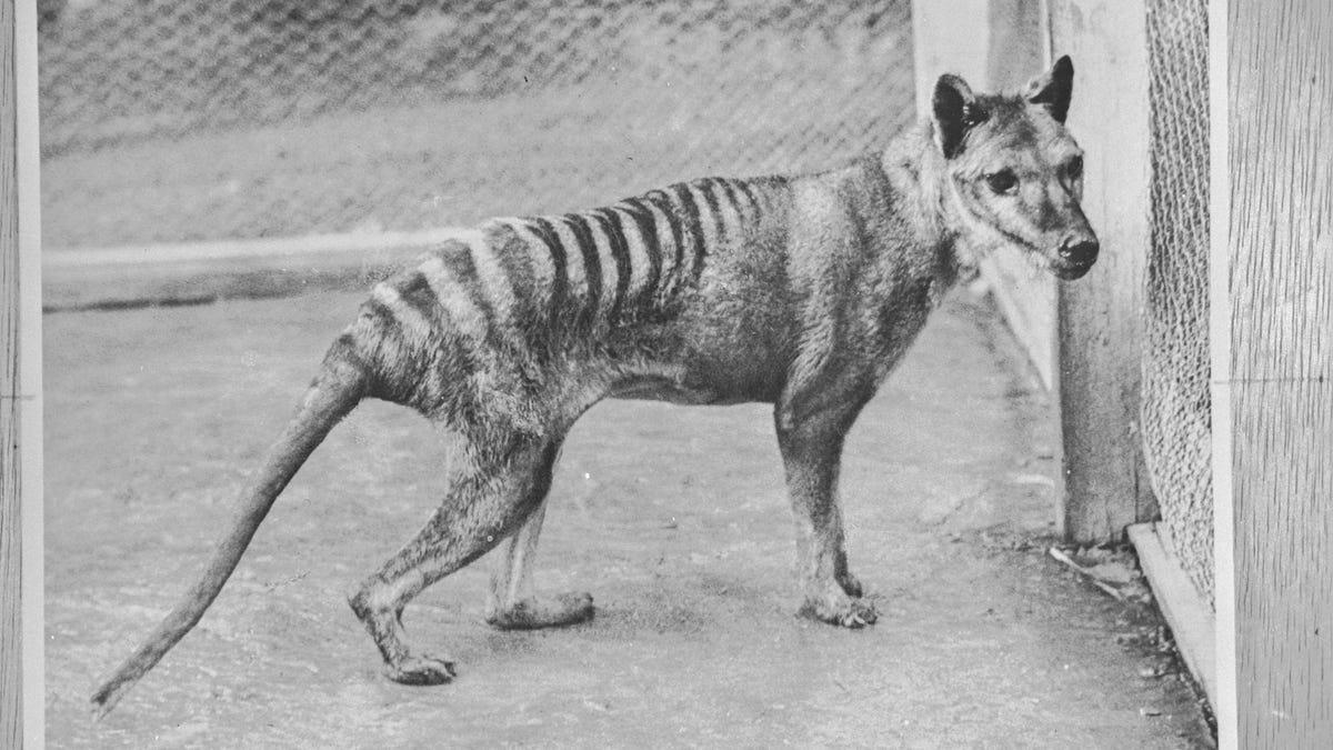 Tasmanian Tigers Could Still Have Been Alive in the 2000s, Scientists Argue