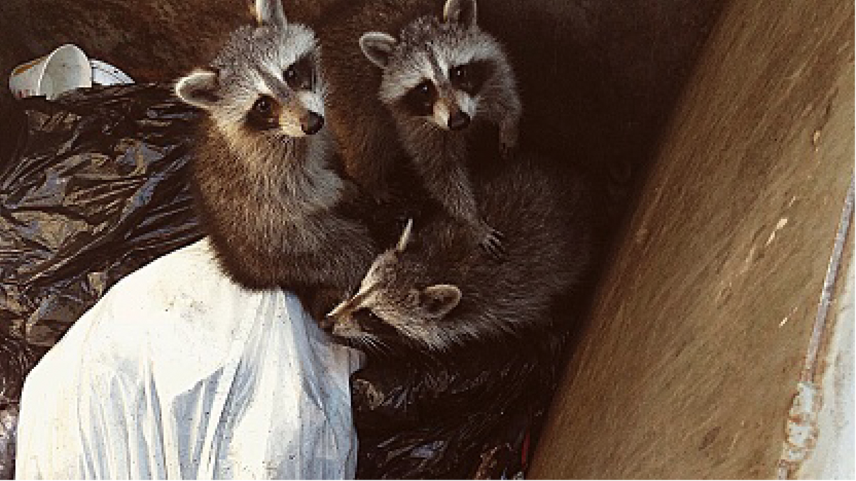 Stories About Bill, My Yard Raccoon