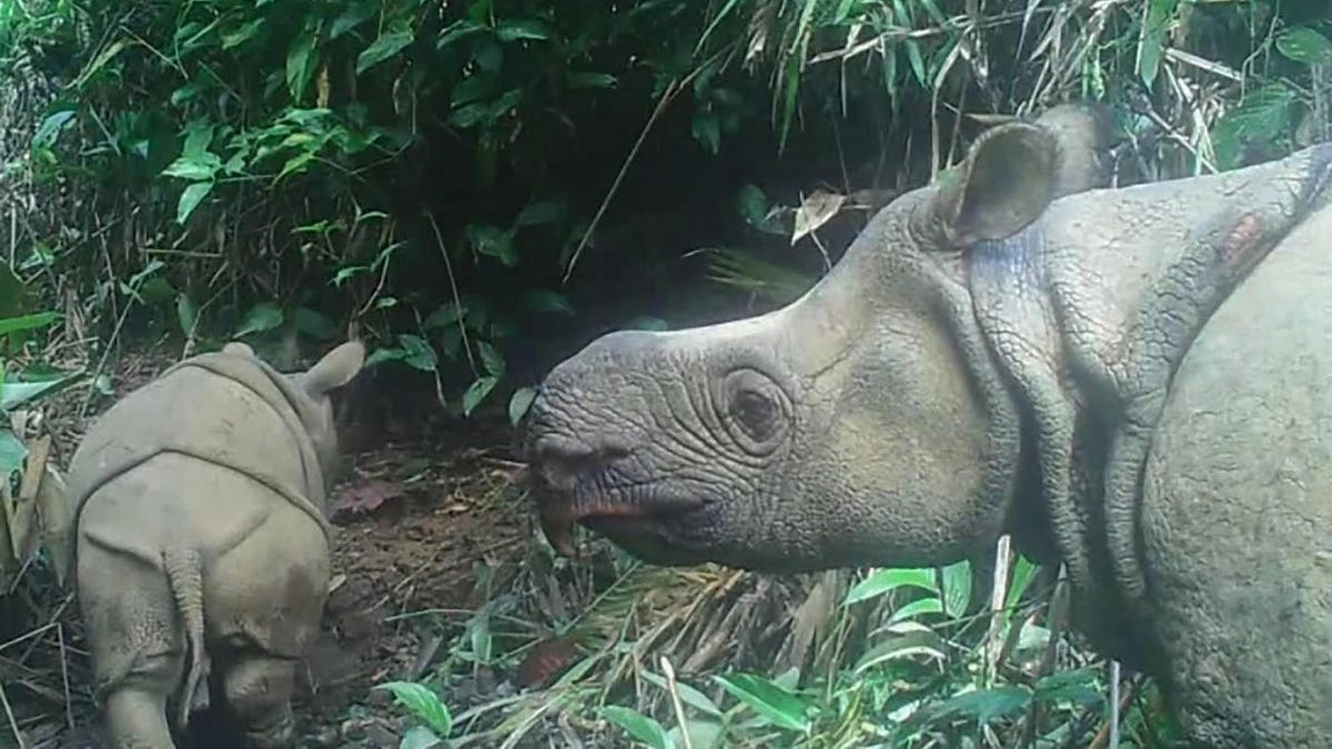 Two Critically Endangered Javan Rhino Babies Spotted in Indonesia