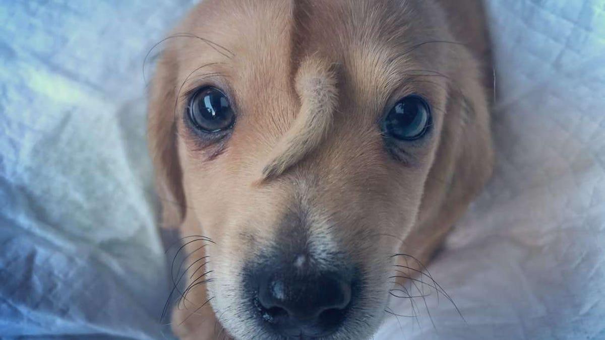 Este cachorro abandonado busca dueño. Se llama Narwhal y tiene una segunda cola en la frente
