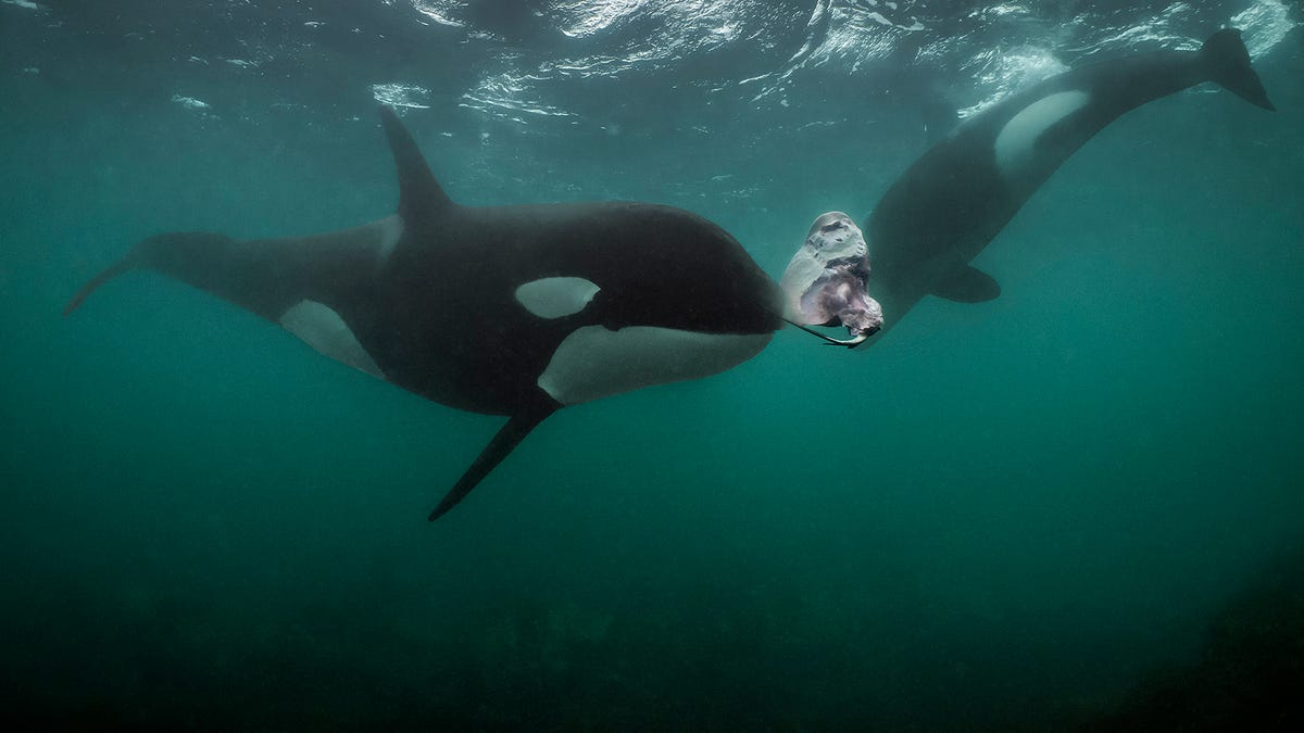 Photographer Who Turned Down an Invitation to Dine With Orcas Has Regrets