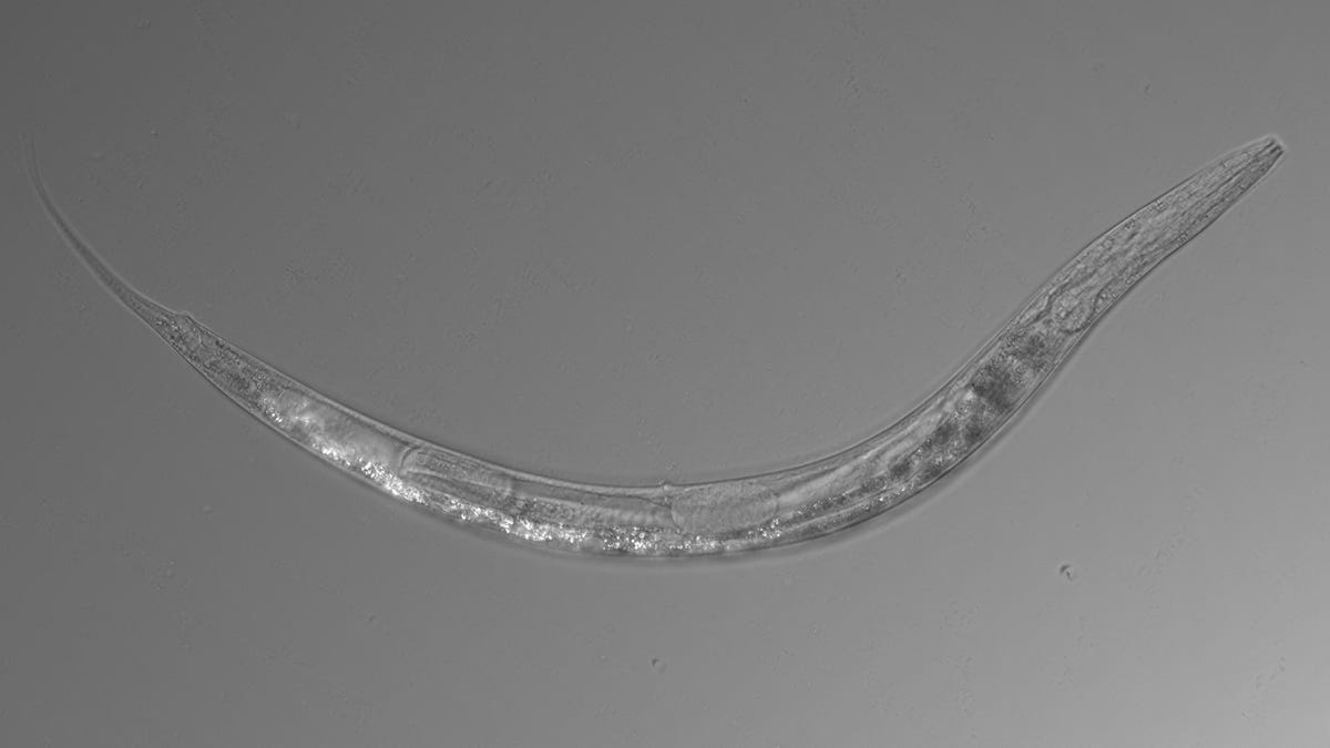 Scientists Find Three-Sex, Arsenic-Resistant Nematode in Nearly Uninhabitable Lake