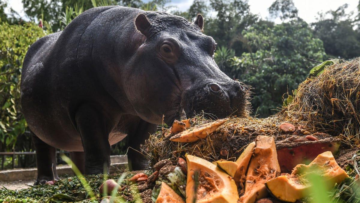Los hipopótamos de Pablo Escobar están invadiendo Colombia y sus heces están destruyendo el ecosistema