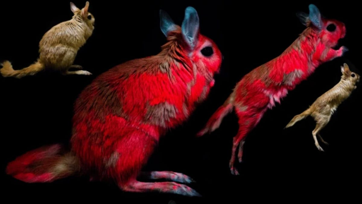 Scientists Want to Know Why This Adorable Rodent Can Glow in the Dark