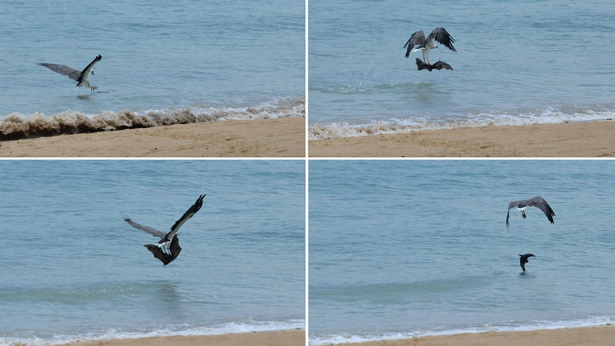 Researchers See Eagle Torturing Bat by Repeatedly Dropping It in the Ocean