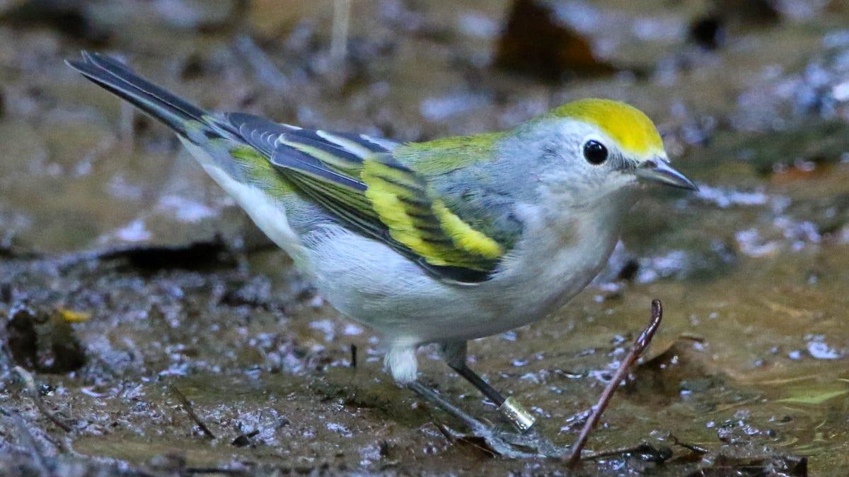DNA Testing Reveals Baffling Bird Is Three Species in One