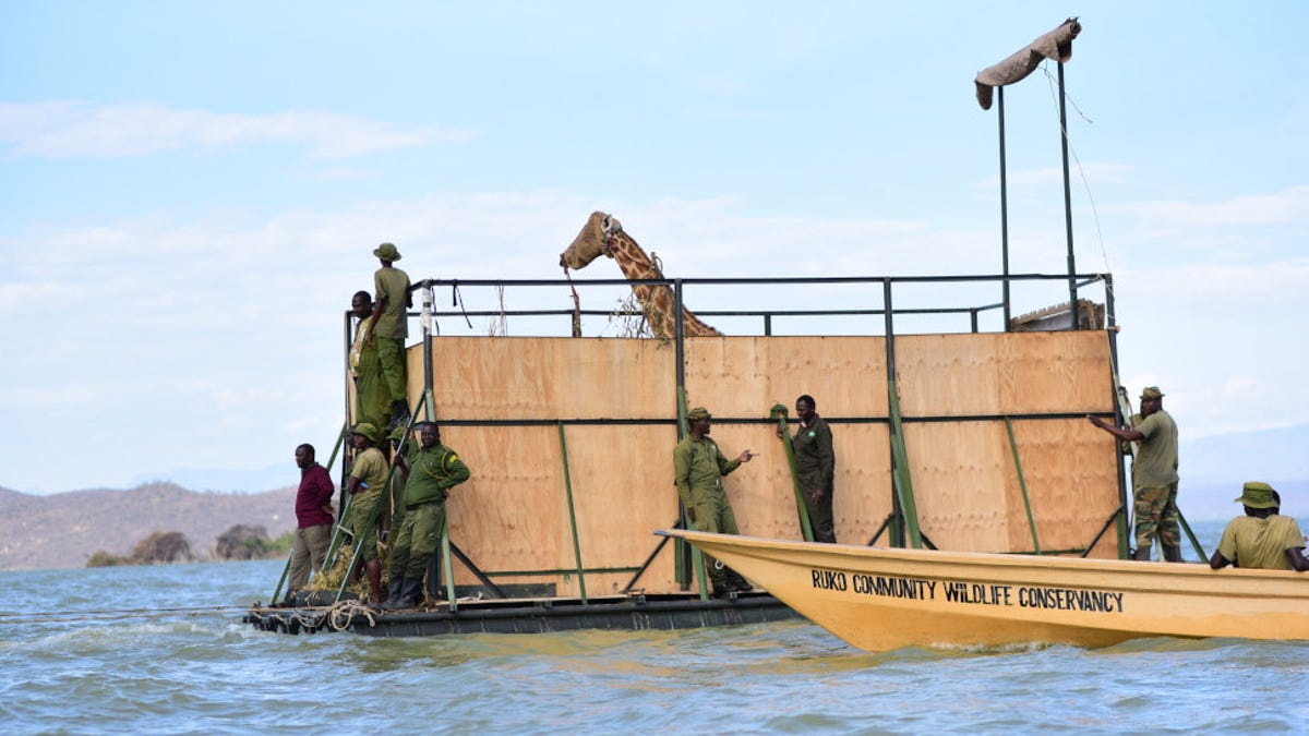 The Last Two Giraffes Have Been Rescued From a Vanishing Kenyan Island