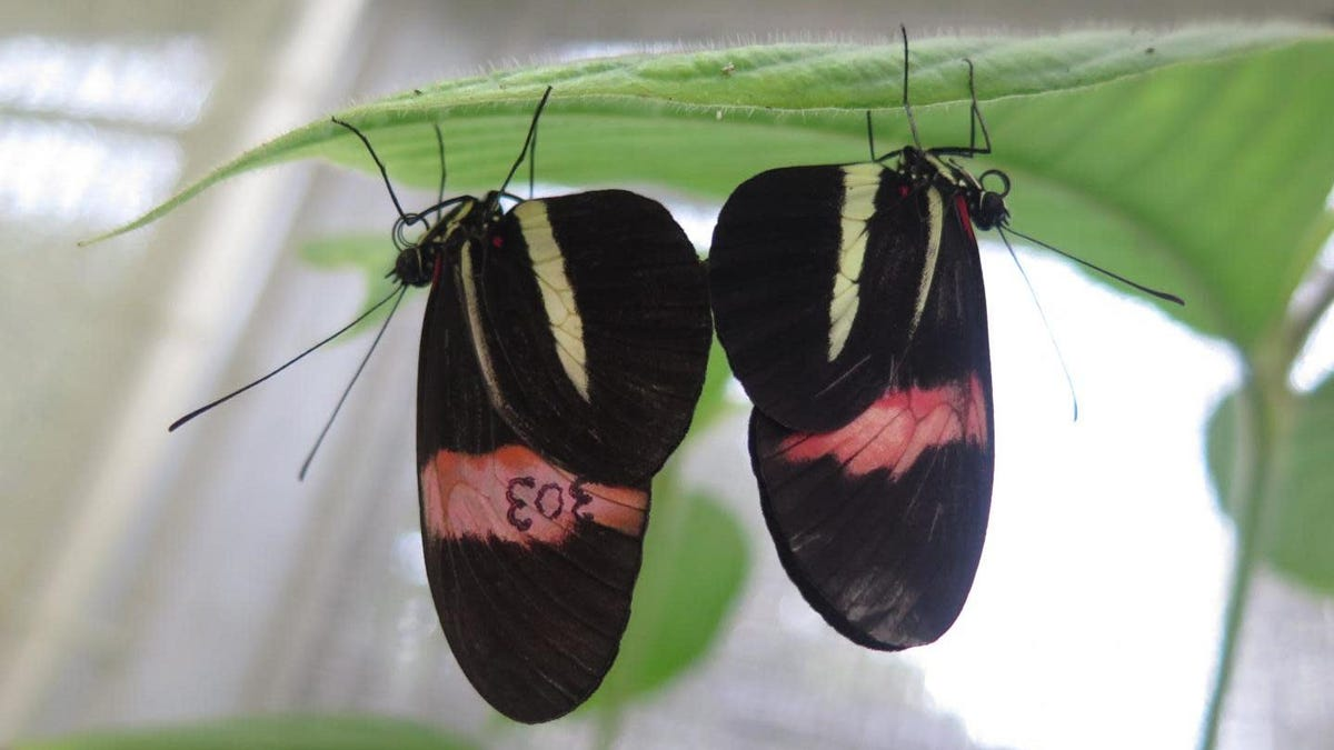 These Butterflies Use Their Putrid Genitalia to Keep Rivals Away From Mates - Gizmodo