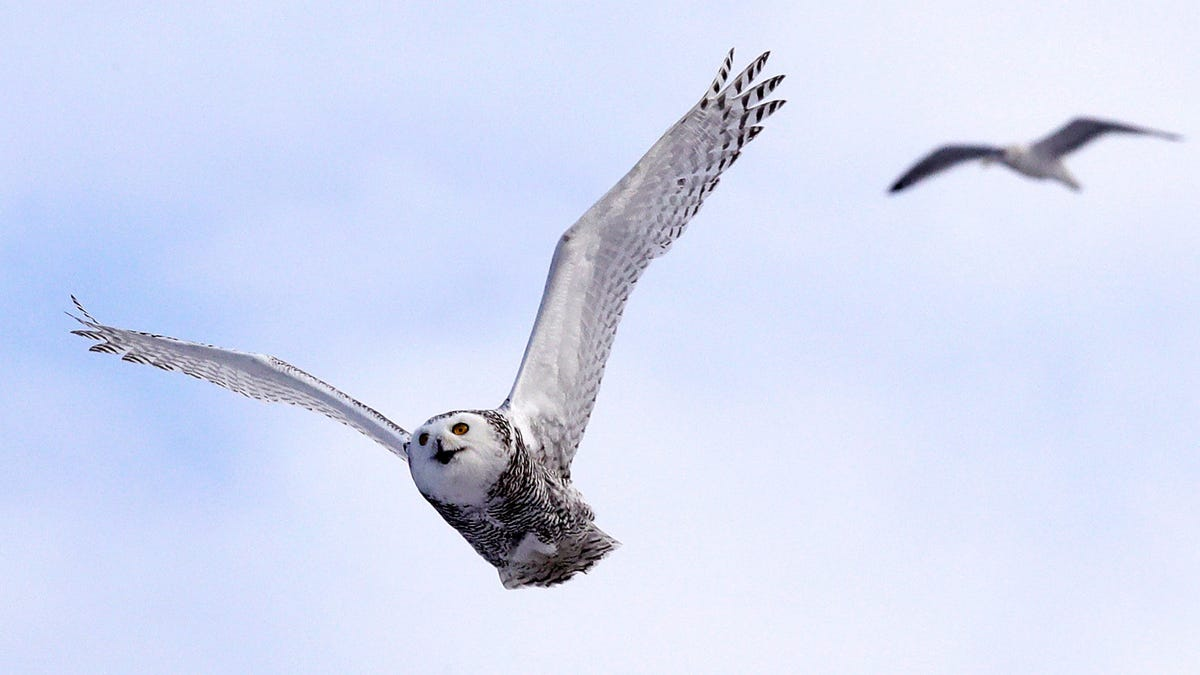 Central Park's Snowy Owl Shows Why We Must Conserve Land Everywhere