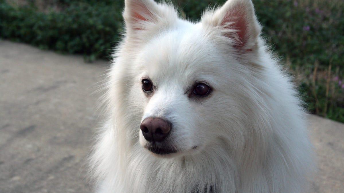 Por qué tu perro tiene esas manchas oscuras cerca de sus ojos
