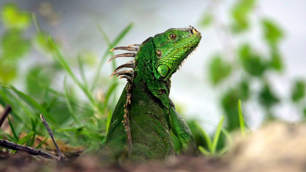 El servicio meteorológico de Florida alerta de la posible caída de iguanas por las bajas temperaturas