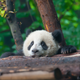 Illustration for article titled Help Name the Smithsonian National Zoos New Baby Panda