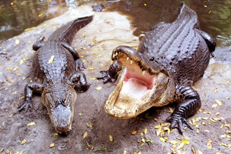 Alligators exhibit the potential to inflict serious harm, regardless of the blood-alcohol levels of their victims.