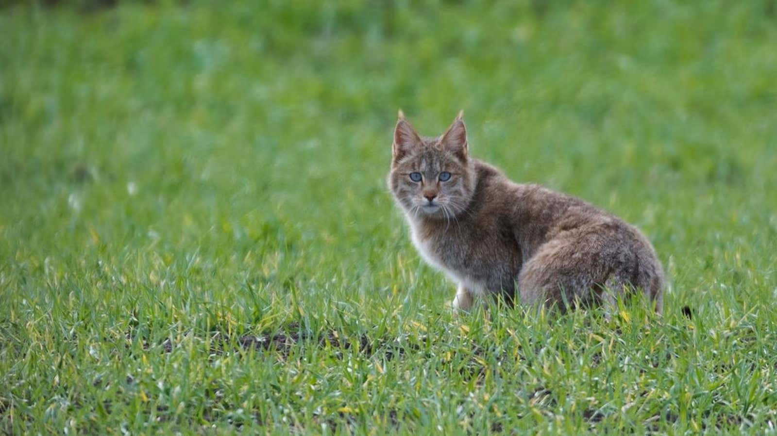 The Mystery of the Chinese Mountain Cat