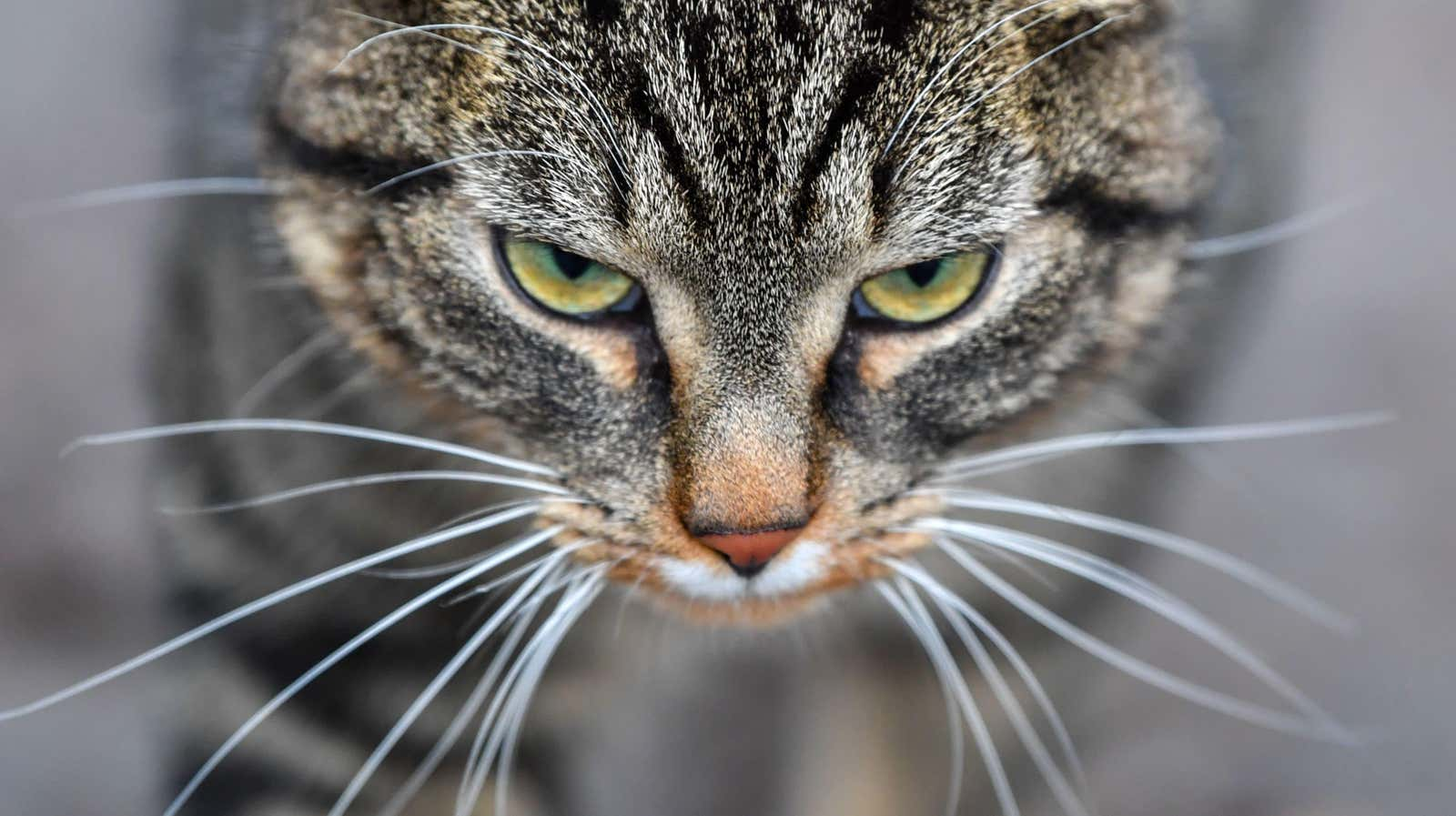 Cat Scratch Bacteria Can Make You Psychotic