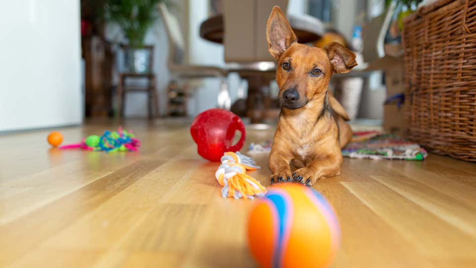 Get $500 for Giving Feedback on Dog Toys