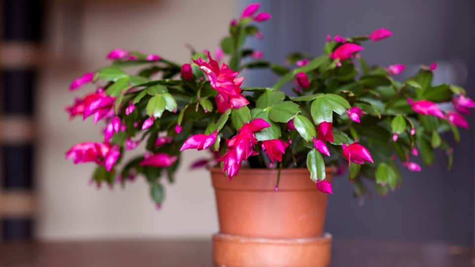 How to Keep a Christmas Cactus Alive Forever