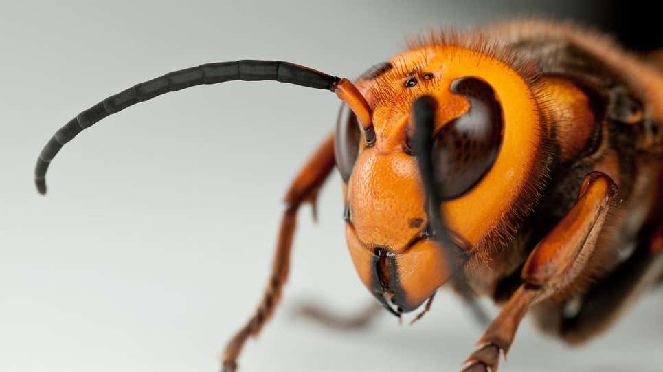 Murder Hornets Are Unlikely to Murder You Personally