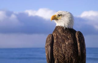 Bald Eagle Tired Of Everyone Just Assuming It Supports War