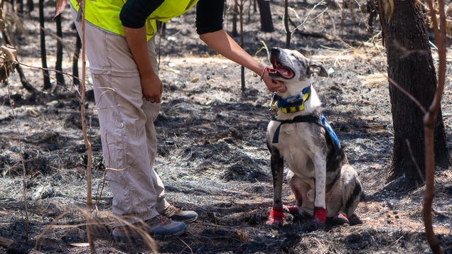 People and Dogs Unite to Save Koalas From Australia s Horrific Bush Fires